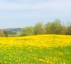 Löwenzahnwiese in den Stauden (Schwaben) Vineyard, Country Roads, Humor, Outdoor, Shade Perennials, Heaven, Landscape, Outdoors, Humour