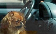 http://www.popalock.com/franchise/wilmington-nc/services - Have you ever accidentally locked your pet in a vehicle? Call Pop-A-Lock...we will get it unlocked for you promptly and efficiently.