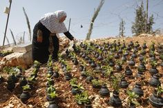 A Palestinian woman waters plants in tear gas canisters in the village of Bilin. Photography by Majdi Mohammed.