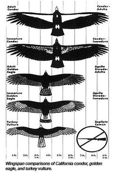A mature condor's white stripe is brighter than that of an immature or juvenile condor. A mature condor also has a featherless pink head while an immature bird has a featherless black head. All Birds, Birds Of Prey, Rare Animals, Animals And Pets, Andean Condor, California Condor, Vogel Tattoo, Sternum Tattoo, Great Tattoos