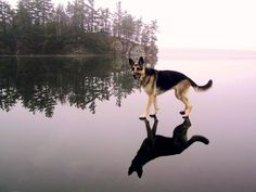 German Shepherd - Love the reflection on the water