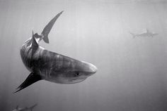 Tiger Shark, Galapagoes Shark in background (SC-1259)