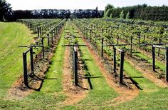 Strong frames are needed to support the weight of fruiting vines. T-bar trellises have rows of posts set into the ground metres apart, with a cross-bar at the top. Vines are trained along high-tensile wires attached to the cross-bars. Wire Trellis, Grape Trellis, Farm Projects, Garden Projects, Fruit Garden, Vegetable Garden, Backyard Vineyard, Hardy Kiwi, Kiwi Vine