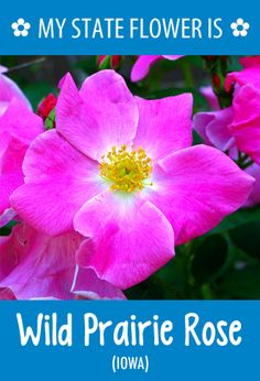 #Iowa's state flower is the Wild Prairie Rose. What's your state flower? http://pinterest.com/hometalk/hometalk-state-flowers/