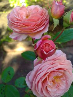 Old world rose at Wentworth Falls house