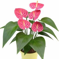 A flamingóvirág (Anthurium) jellemzése, ültetése, gondozása és szaporítása - Ankert - Anna kertje House Plants, Plant Leaves, Pretty, Anna, Gardens, Indoor House Plants, Outdoor Gardens, Foliage Plants, Houseplants