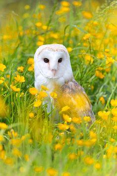 Barn Owl in Buttercups