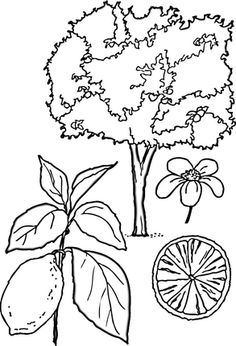 Click to see printable version of Lemons Tree  coloring page