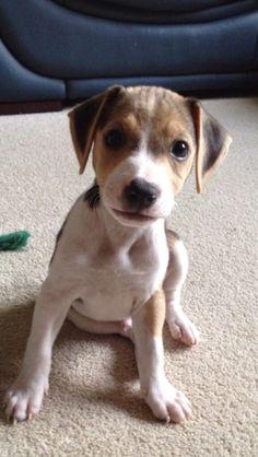Jack Russell & Beagle mix