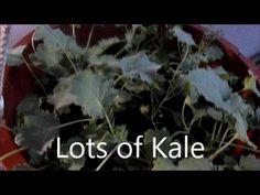 Lots of Kale