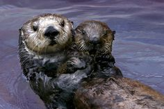 Toola, the female sea otter who inspired California state legislation to better protect her species and was a pioneer in surrogate motherhood for stranded pups.