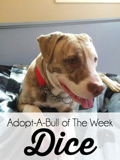 Adopt-A-Bull Dice is 9 months old and currently in an upstate NY foster home. Looking for his happily ever after! Forever family wanted! http://www.thelazypitbull.com/2015/05/adopt-a-bull-dice/