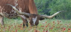 texas longhorn cow in wildflower pasture at GVRlonghorns. for more on how much Texas longhorn cattle cost, read our latest blog post (June 1, 2021) Longhorn Cow, Longhorn Cattle, Cattle Farming, Livestock, Cattle For Sale, Green Valley Ranch, Raising Cattle, Cow Photos, Texas Photography