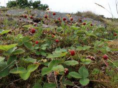 Wild Strawberry, Fragaria vesca - Flowers - NatureGate