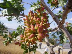 Pistachio - The tree produces a seed. Pistacia vera often is confused with other species in the genus Pistacia that are also known as pistachio. Their seeds which are much smaller and have a shell that is not hard.