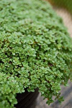 Ground Cover Plants Shade Under Tree