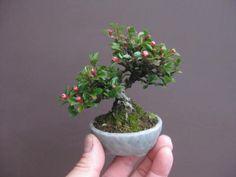 盆栽:ウメズルとかイワガサとかが咲く 春嘉の盆栽工房