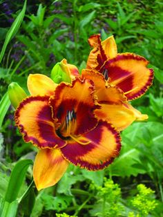 VT Spirit - Rugged and carefree, daylilies are the perfect companions to daffodils and other spring flowering bulbs because they help hide their maturing foliage; strap-shaped leaves; hybridized by our friend, Linda Pinkham, and named for her alma mater, Virginia Tech; Full-sun to partial shade in wonderful to average soil; plant 12-18 on center; whz 3-9; bare root 2 fans.