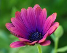 Angle Flickr: The African Daisy Pool