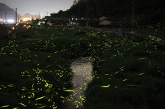 the wild frenzy of gold fireflies as they mate after thunderstorms during the June to July rainy season