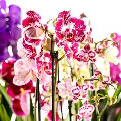 ako sa starať o orchidey v banku zakúpenej v obchode Orchids, Plants, Keiki