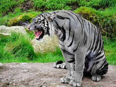 The Maltese tiger, or blue tiger, is a reported but unproven coloration morph of a tiger, reported mostly in the Fujian Province of China. It is said to have bluish fur with dark grey stripes