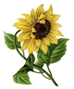 New Ideas For Flowers Illustration Free Graphics Fairy Sunflower Drawing, Sunflower Flower, Yellow Sunflower, Graphics Fairy, Free Graphics, Sunflower Clipart, Sunflower Images, Vintage Flowers, Vintage Floral