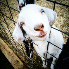 #adorable #mininubian #countryhomefarm