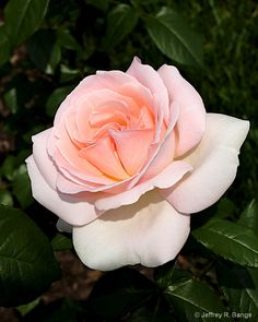 "Hybrid Tea Rose - ""Francis Meilland"""