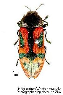 Castiarina clancula Obenberger