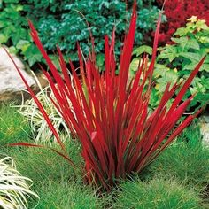 Planting Japanese blood grass in the garden - a fiery red accent .- Japanisches Blutgras im Garten pflanzen – Ein feuerroter Akzent – Neueste Dekoration Planting Japanese bloodgrass in the garden – a fiery red accent # – - Outdoor Plants, Outdoor Gardens, Imperata Red Baron, Beautiful Gardens, Beautiful Flowers, Sutton Seeds, Red Grass, Ornamental Grasses, Shade Garden