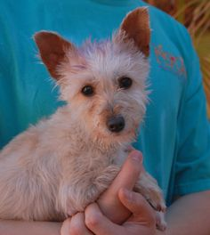 Violet is a tiny, 6-pound young girl debuting for adoption today at Nevada SPCA (www.nevadaspca.org).  She is tender-hearted in nature and best-suited for a gentle home environment.  Violet is a Toy & Terrier mix, 1 year of age and spayed, and good with other sweet dogs.  Her previous owner had dyed the top of her head purple and painted all of her nails, but failed to take any steps for responsible ownership.  Violet was found on the streets trying to fend for herself.