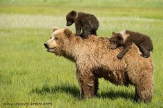 @beyjess12 // Mother grizzly bear and her two cubs, riding on her back, walk across a green field.