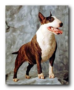 Rev up the look of your living room by bringing home this wonderful English bull Terrier dog animal picture art print poster. This wonderful piece of wall art is a fantastic way to make a space pop. It will be a great addition for your kid's room and brings cozy environment into your kid's bedroom. Funny wall posters are a perfect way to bring happiness and joy into your home. It will make a great gift for every cat lover.