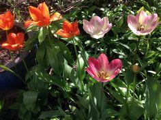 Tulppaaneja toukokuussa 2014