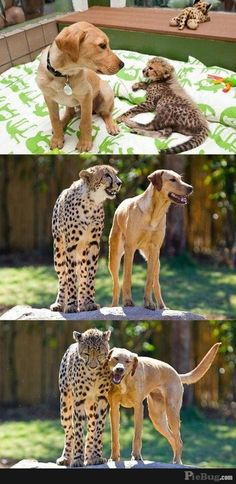 cheetah and dog growing up together