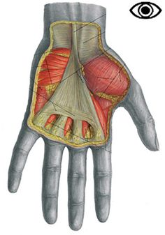 Muscles of the hand (palmar 1)