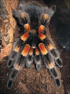 About Tarantulas – Mexican Orange Knee, Brazilian Black, and Peruvian Pinktoe