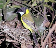Golden Whistler feed her young Australian Wildflowers, Whistler, Nests, Pet Birds, Wild Flowers, Amazing, Animals, Animales, Animaux