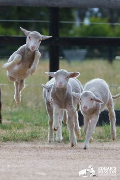 jump for joy, we are free! lambs in rescue at Edgar's Mission
