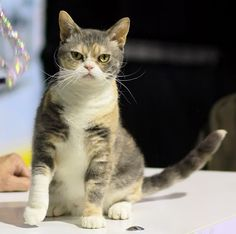American Wirehair -