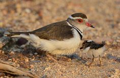 Three-banded Sandplover (Charadrius tricollaris) & Chick