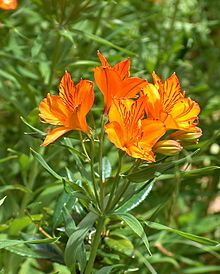 Lovely orange Amancay flowers (Alstroemeria) and a post with words referring to Chile that start with A. Read more. Orange Flowers, Real Flowers, Colorful Flowers, Beautiful Flowers, Peruvian Lilies, Flower Crafts, Patagonia, Shrubs, Chile