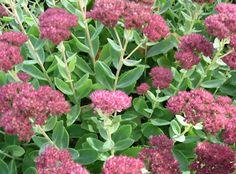Sedum Succulent for your Garden: mixture of succulents and sedums for roof garden for colour