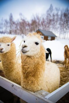Llamas in Hokkaido, Japan