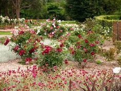 Burgundy Iceberg Rose in Wollongong Botanic Garden with Arctotis daisy