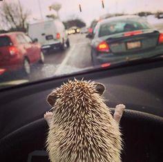Hedgehog escort ❤️