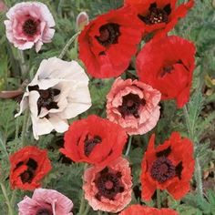 """200 Seeds, Poppy """"Oriental Mixture"""" (Papaver Orientalis) Seeds By Seed Needs by Seed Needs: Flowers. $1.85. Quality Poppy seeds packaged by """"Seed Needs"""". Grows to a height of 24 to 36 inches tall. Perennial plants that will return each year if the roots are in tact. Easy planting instructions printed on each Seed Needs packet along with a colorful picture of the plant.. Prefers an area of full sunlight and average moisture daily. Oriental poppies add old-fashioned ch..."""