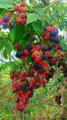 Pin on Fruit Fruit Plants, Fruit Garden, Fruit Trees, Trees To Plant, Colorful Fruit, Tropical Fruits, Beautiful Fruits, Beautiful Flowers, Fruit And Veg