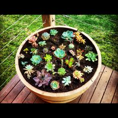 Succulent Garden in a wine barrel--could also do a batch of these around the aloe plant and skip the fence